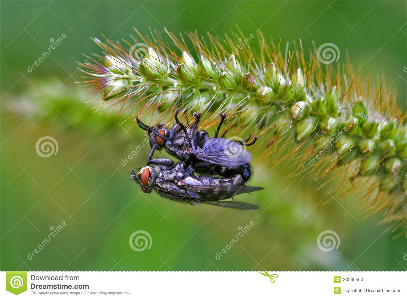Two Wild Fly Diptera Having Sex Stock Photo - Image 30230560-7276