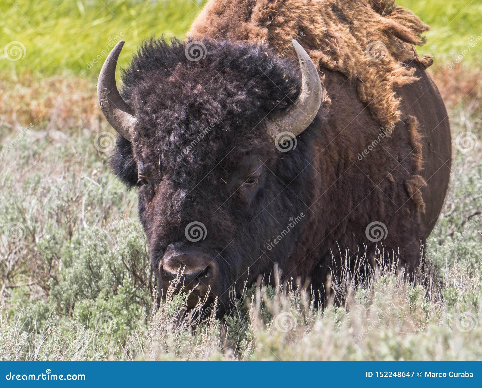 Close-up van Amerikaans Mannelijk Bison Bison Bison