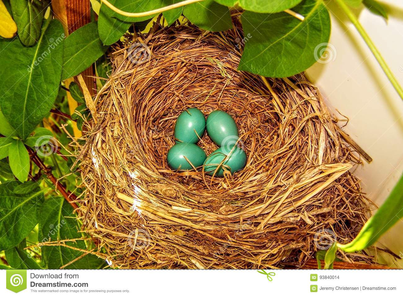 Close-up van Blauw Robin Eggs in een Nest in een Boom