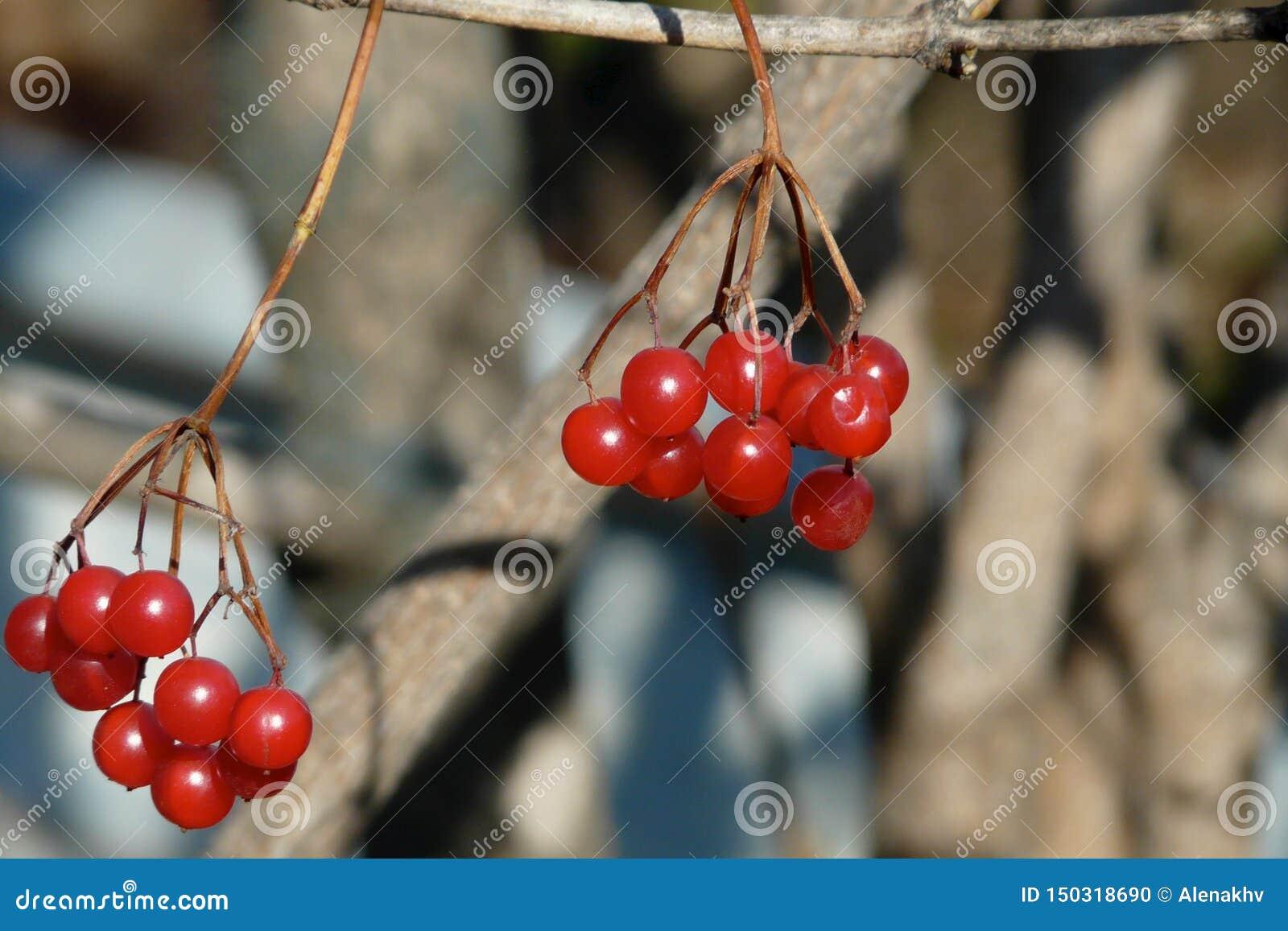 Close-up van bossen van rode viburnumbessen in de winter
