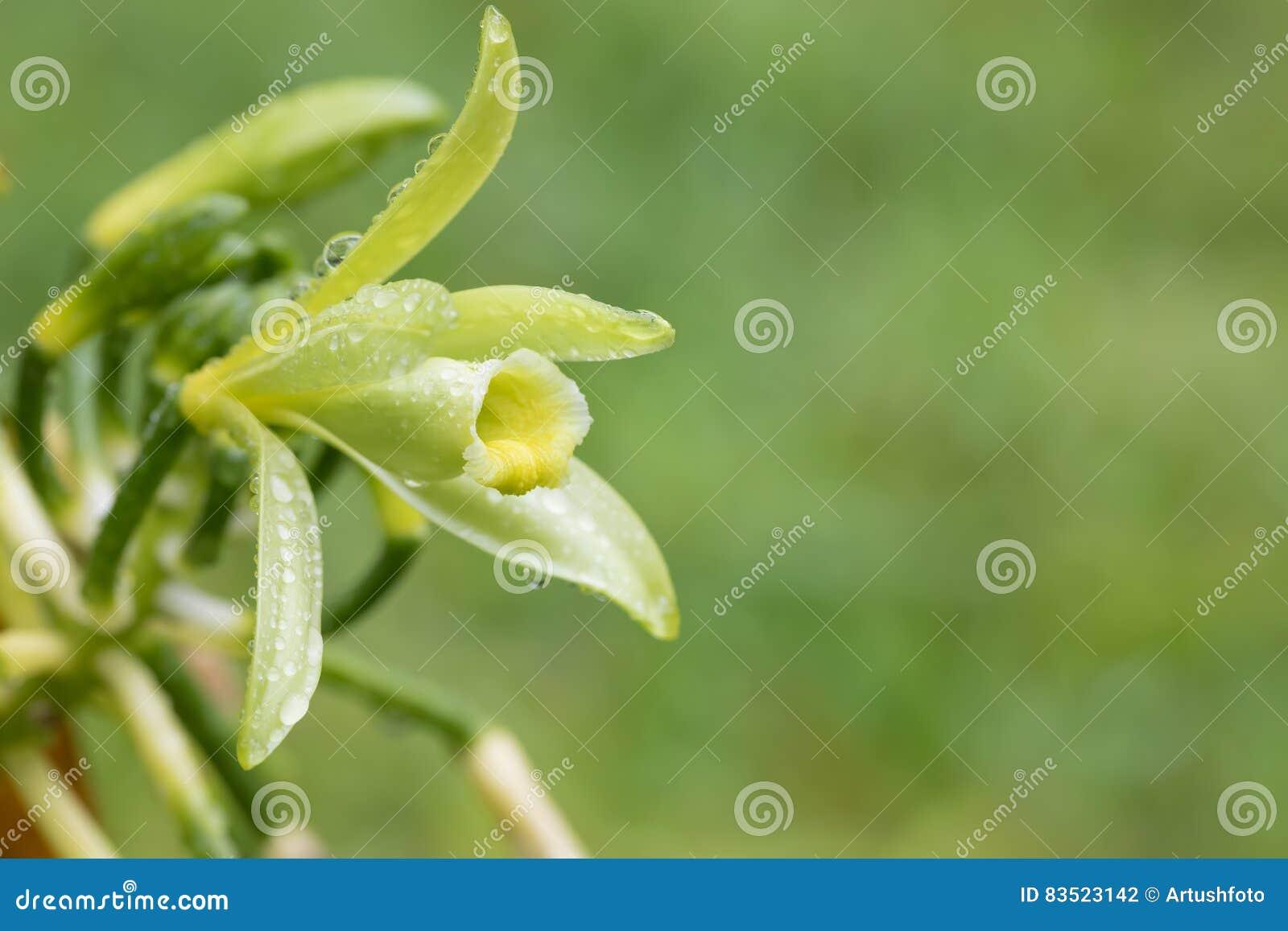 Close-up van de bloem van de Vanilleinstallatie, Madagascar
