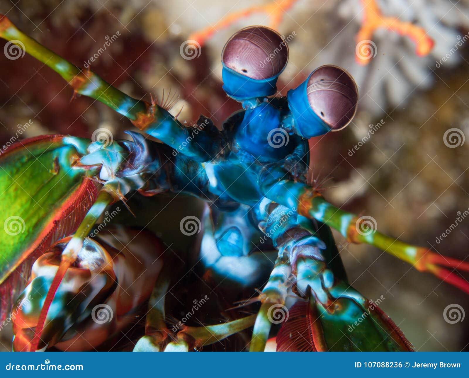 Close-up van de garnalen van pauwbidsprinkhanen