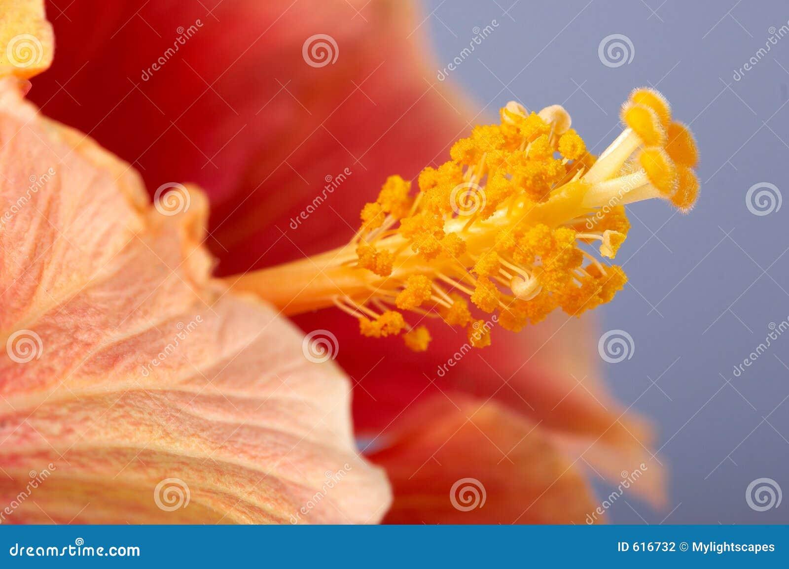 Close-up van de hibiscusbloem