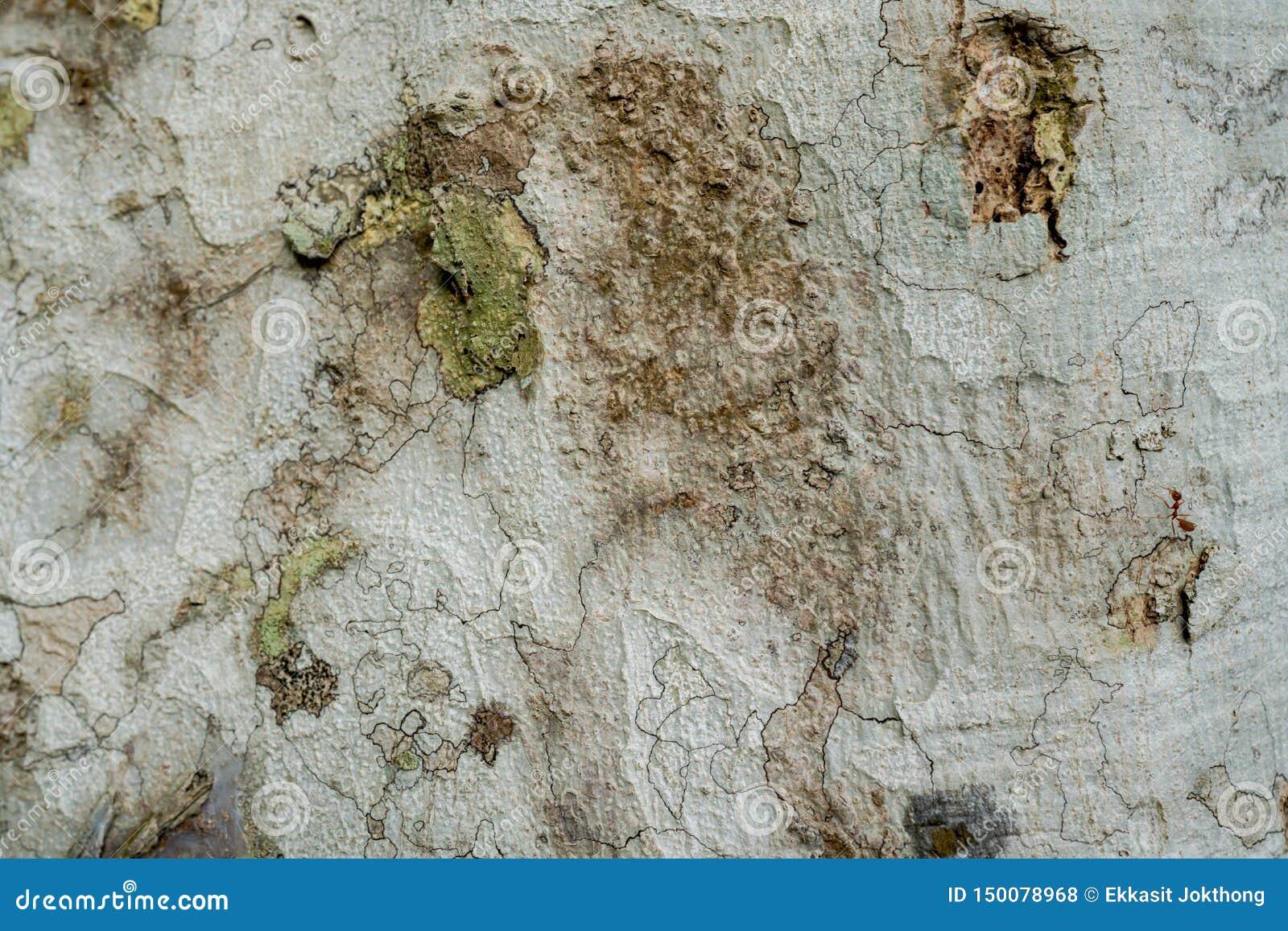 Close-up van de shell oppervlakte van de boom Zie duidelijk het patroon