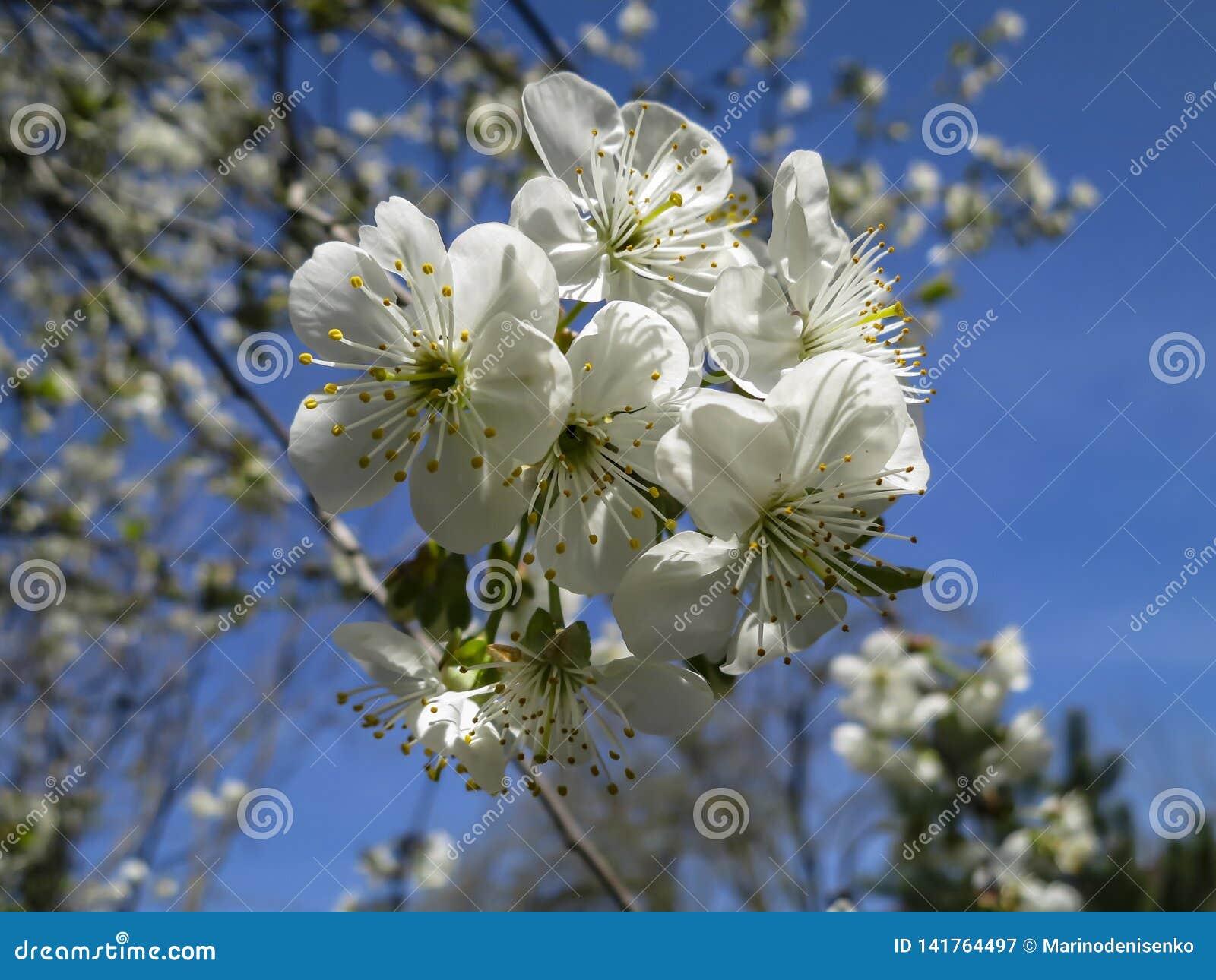 Close-up van de witte bloesem van kersenbloemen in de lente Heel wat wit bloeit in zonnige de lentedag