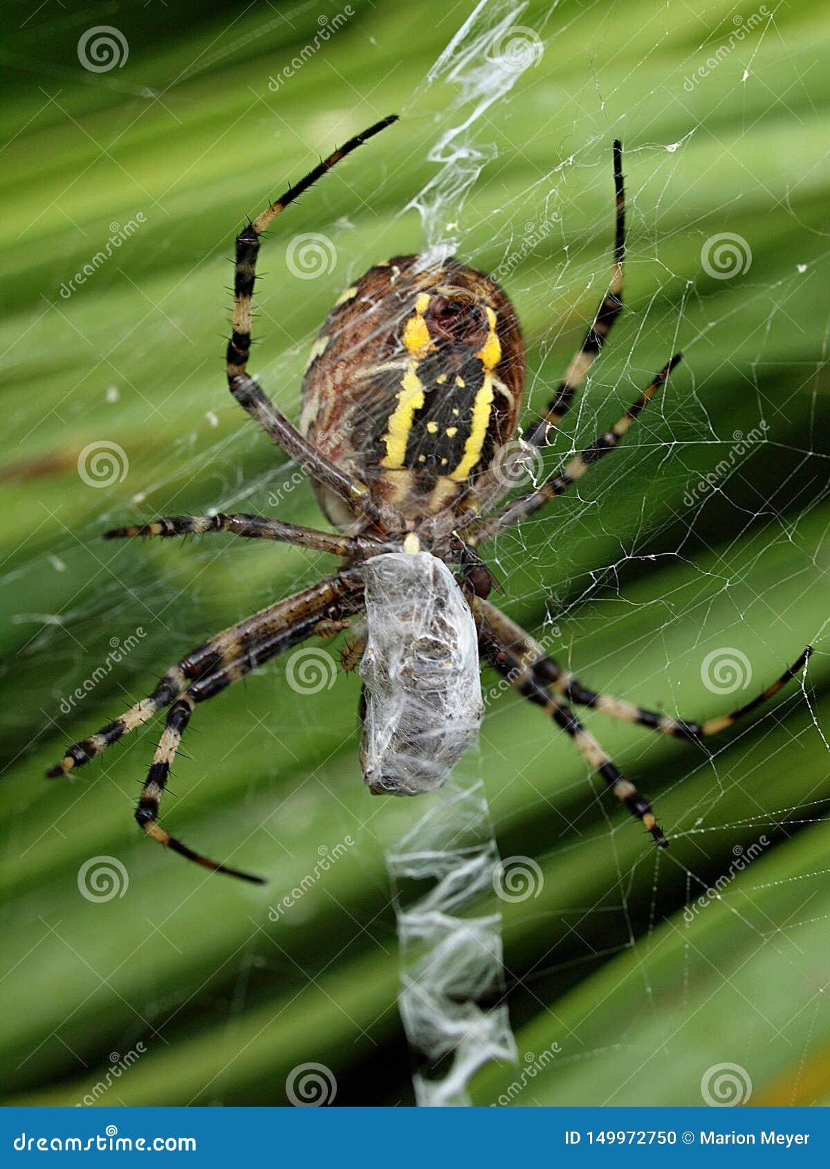 Close-up van een gele gestreepte wespspin in zijn netto spin