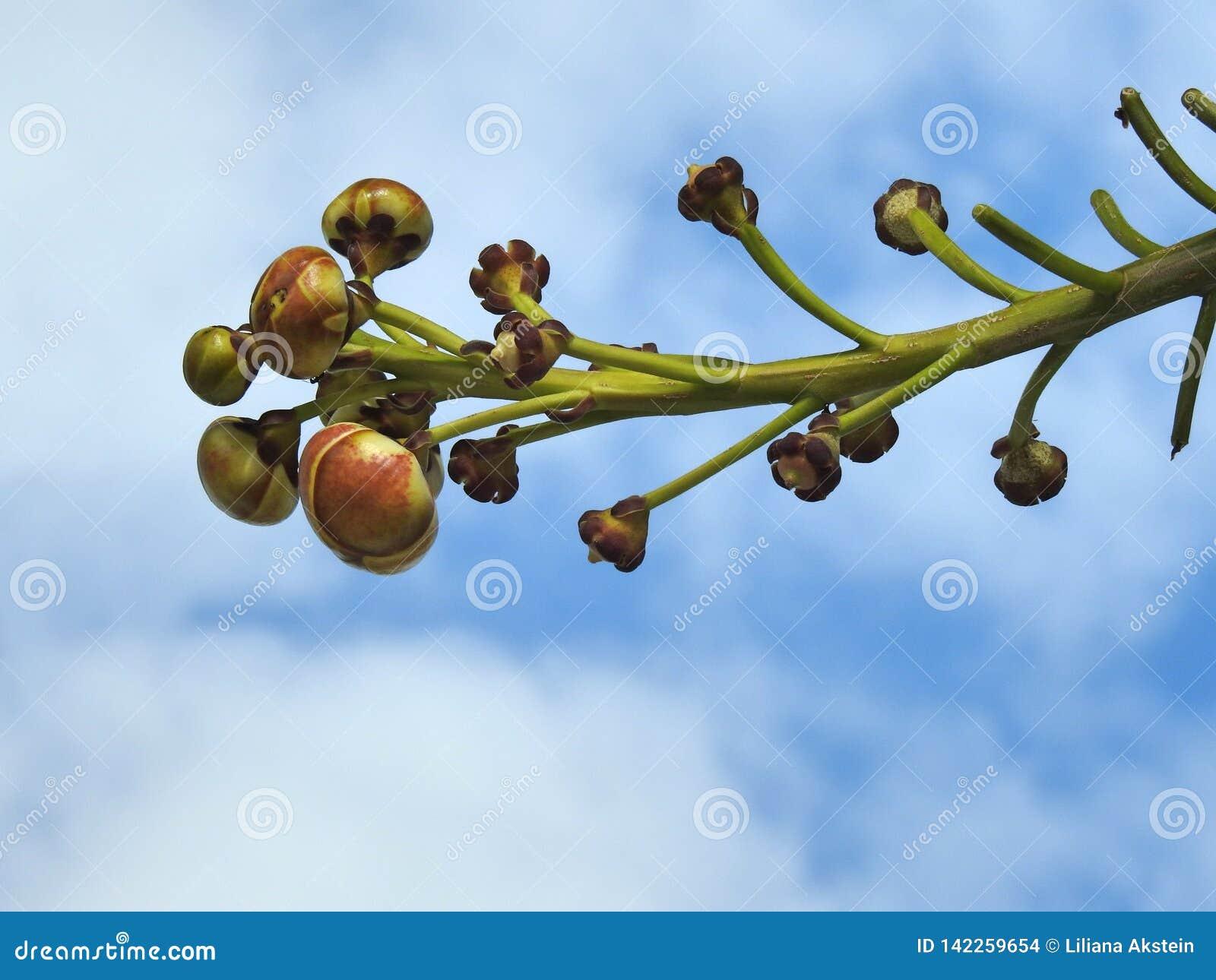 Close-up van een guianensis van de takcouroupita van de kanonskogelboom, met knoppen wordt gevuld die