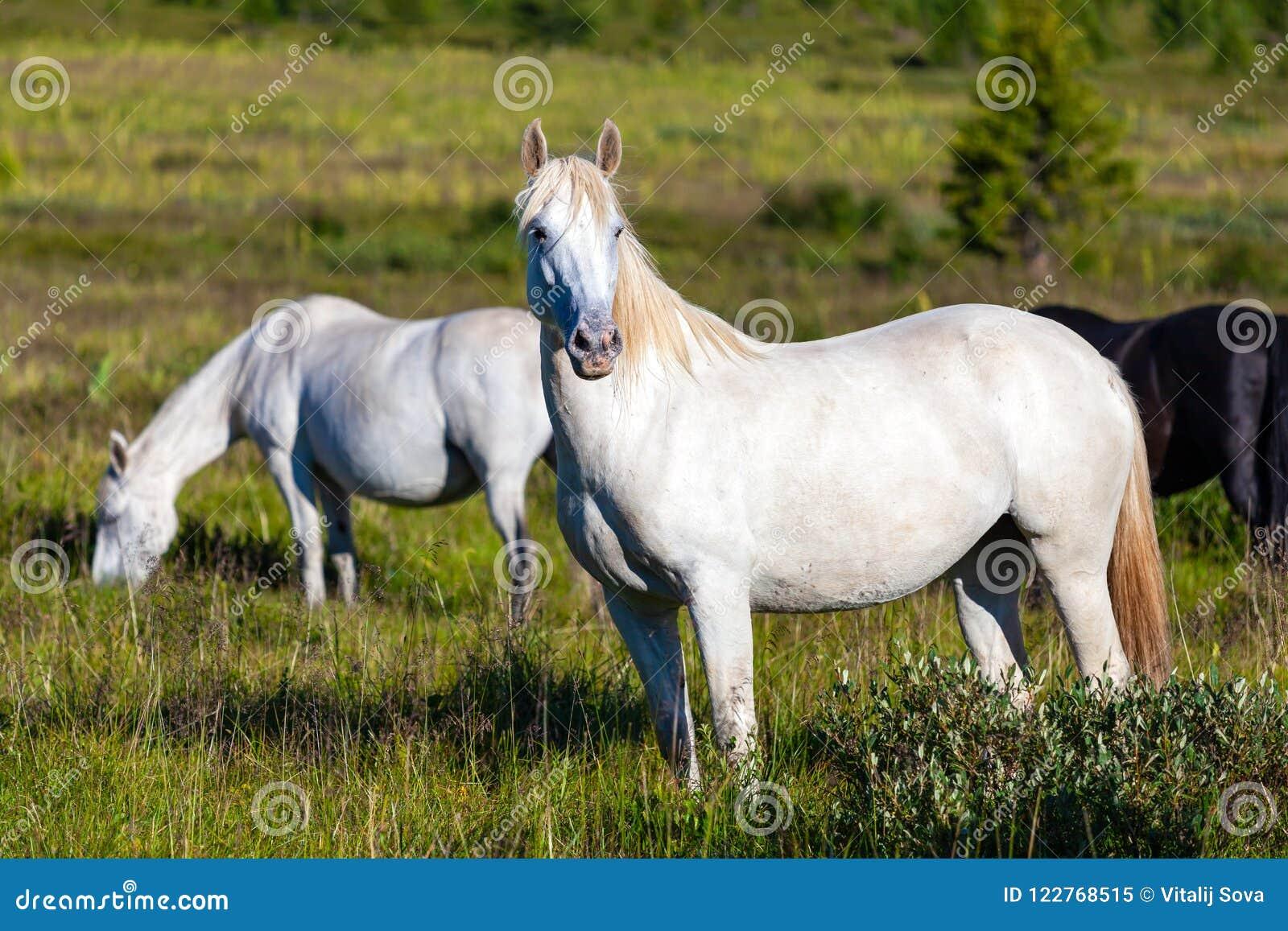 Close-up van een kudde van witte paarden