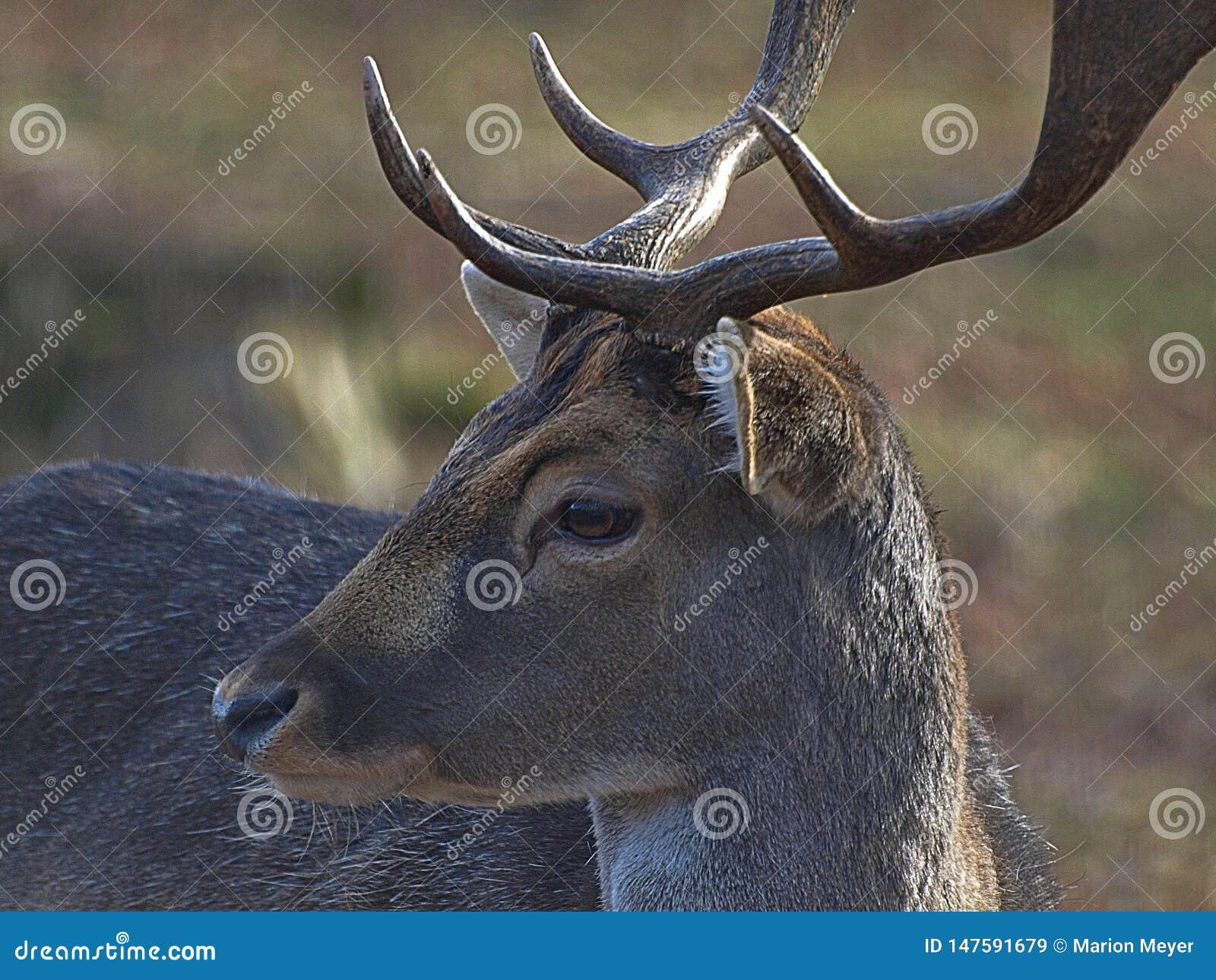 Close-up van een mannelijk hert