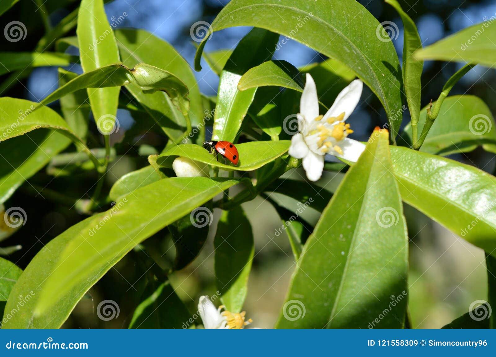 Close-up van een Onzelieveheersbeestje op Clementine Leaf, Aard, Macro