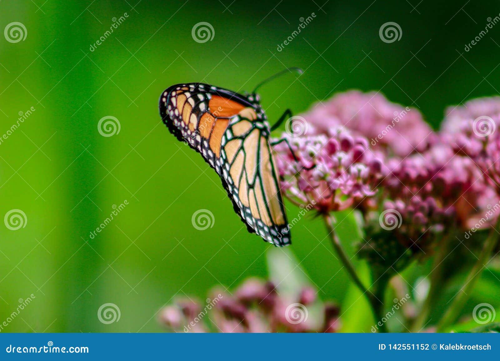 Close-up van een oranje en zwarte monarchvlinder op een roze milkw