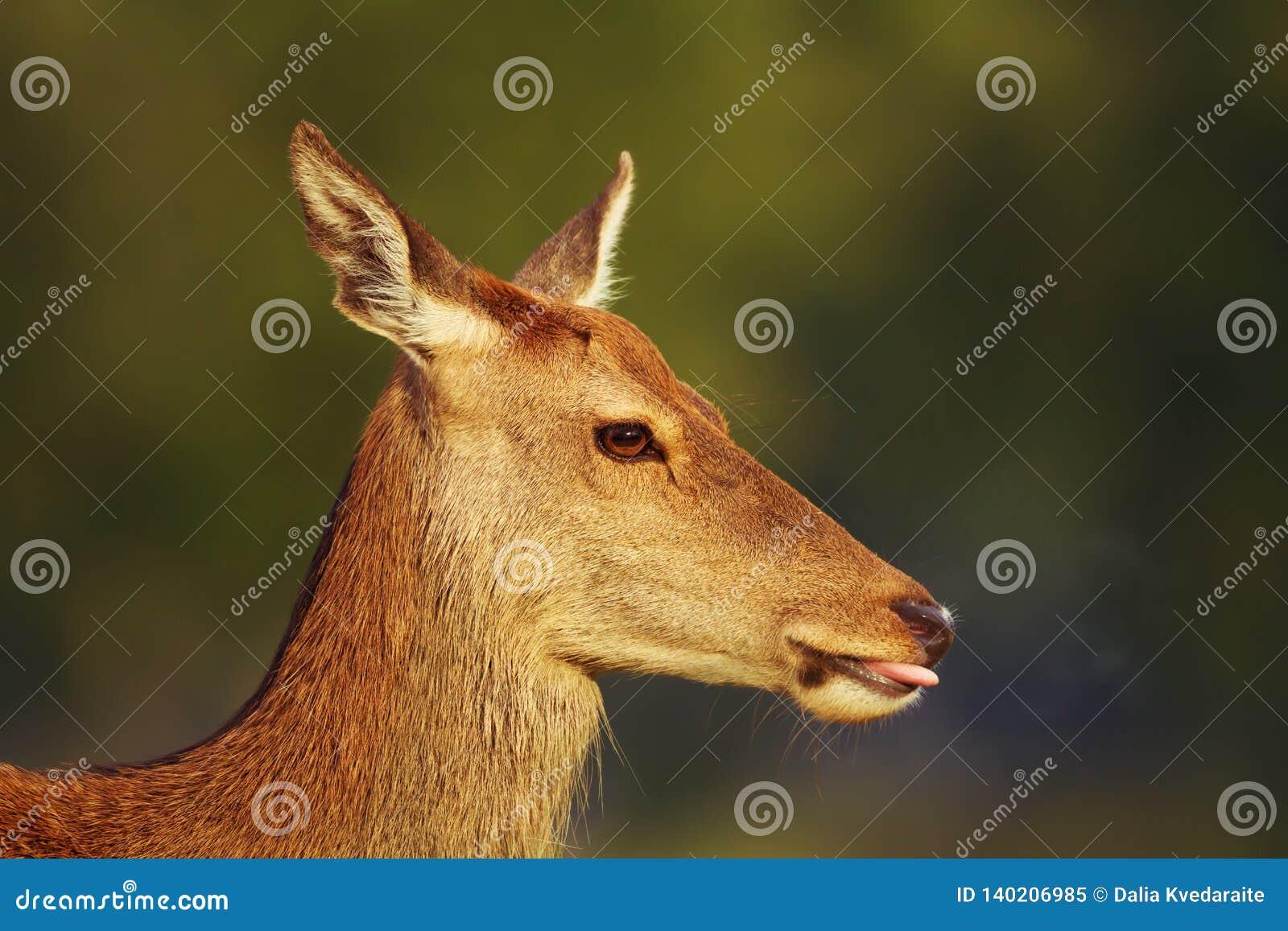 Close-up van een rood hert achterste tegen groene achtergrond