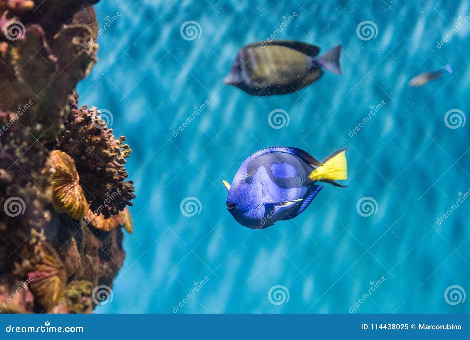 Close-up van een vorstelijk blauw zweempje in aquariummilieu