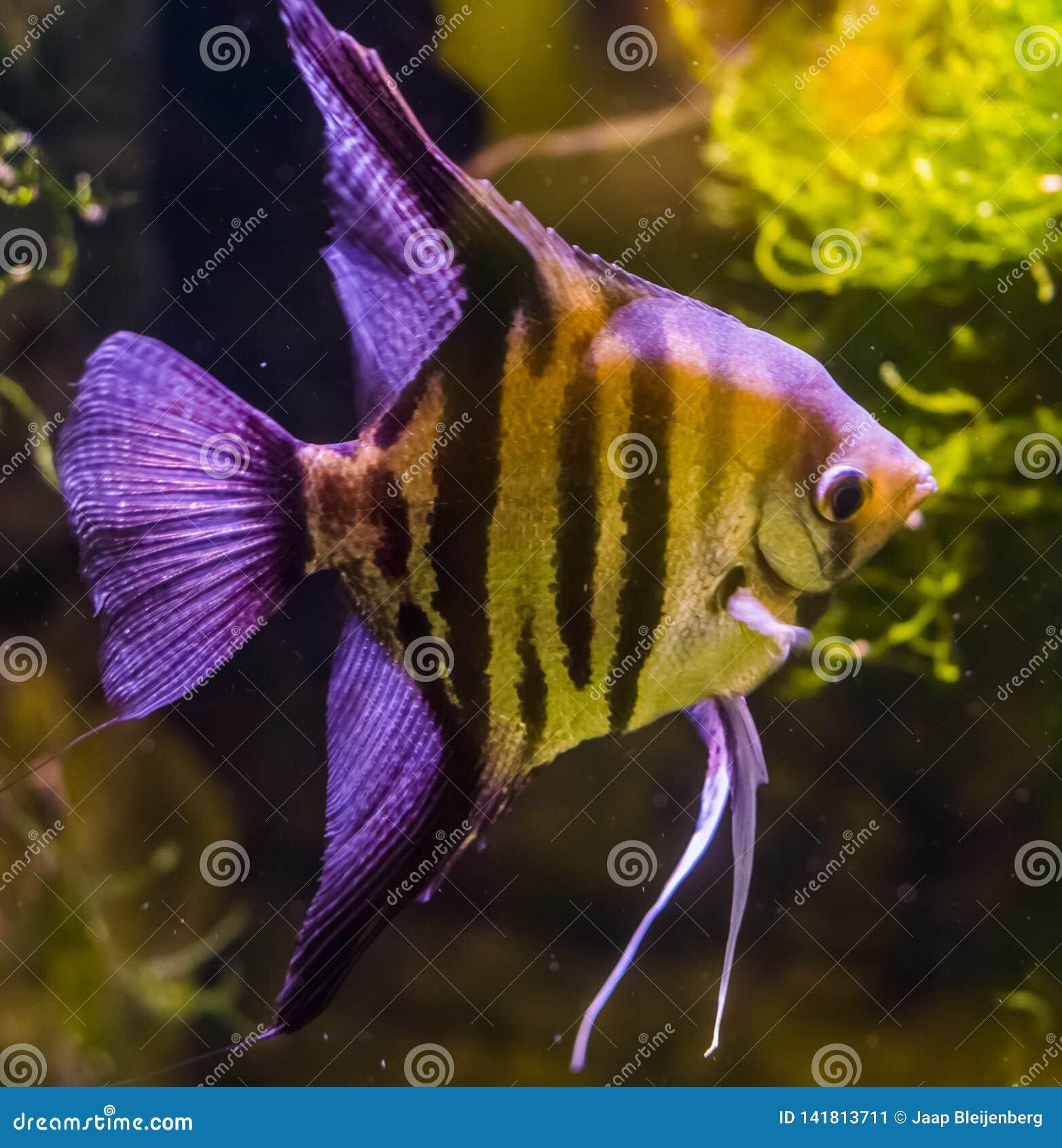 Close-up van een zoetwaterzeeëngel, een mooi en populair aquariumhuisdier, tropische vissen van het bassin van Amazonië