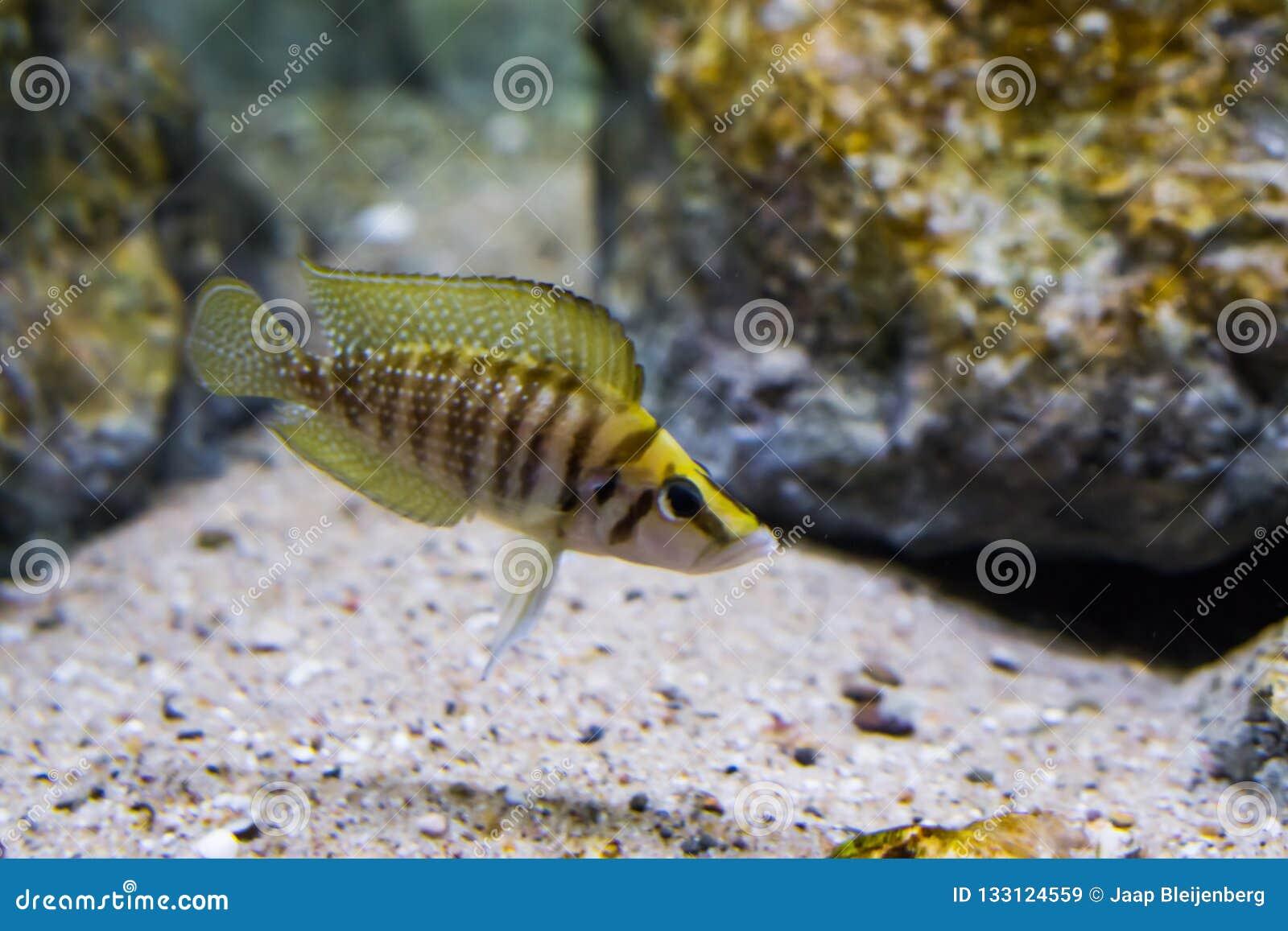 Close-up van gestreept bruin en geel samengeperst cichlid, een tropisch aquariumhuisdier van meer Tanganyika in Afrika