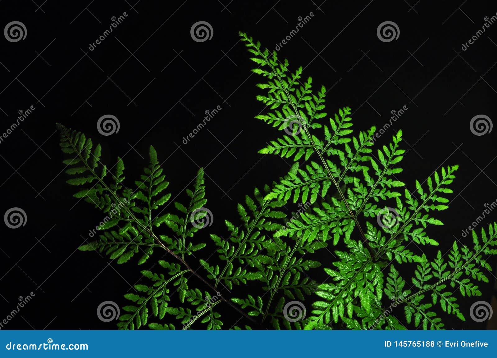 Close-up van groen die varenblad op zwarte achtergrond wordt ge?soleerd