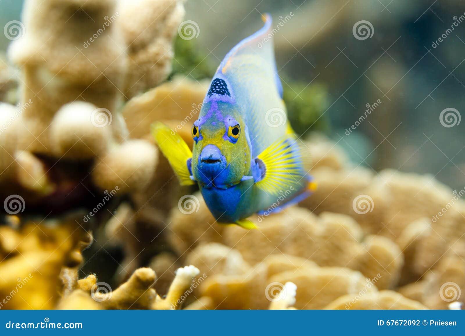 Close-up van het kleurrijke gezicht van Koningin Angelfish die, holacanthusciliaris, op koraal zwemmen