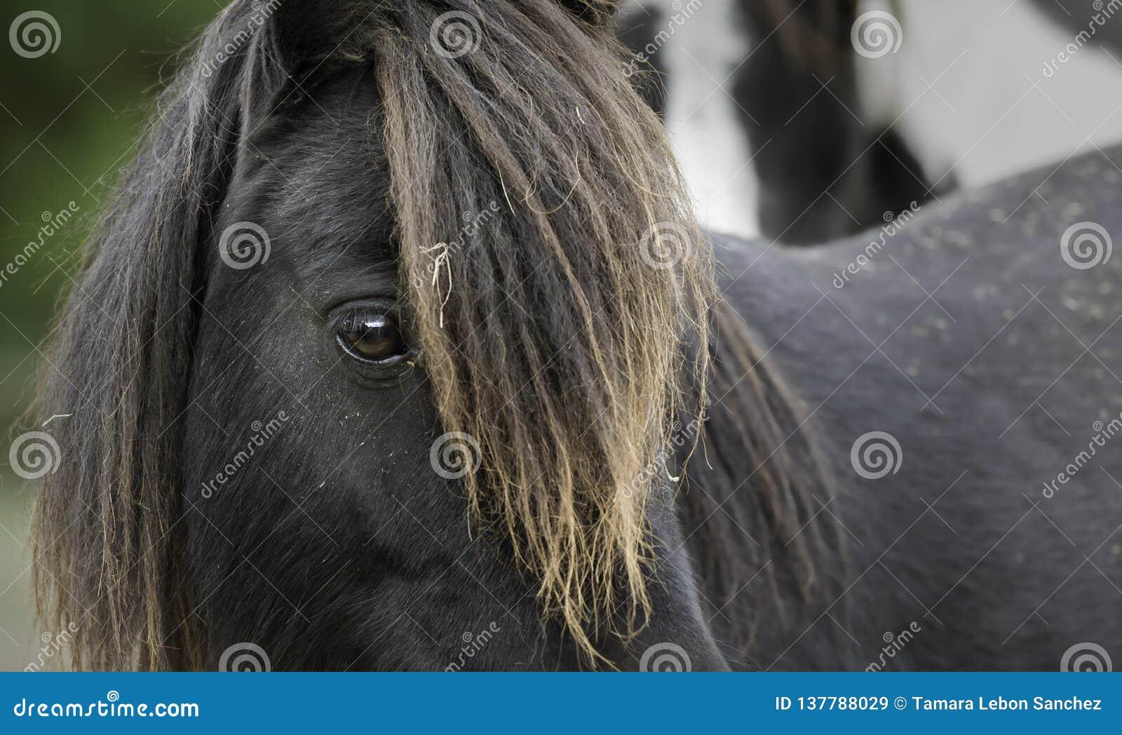 Close-up van het loonking van een zwarte poney