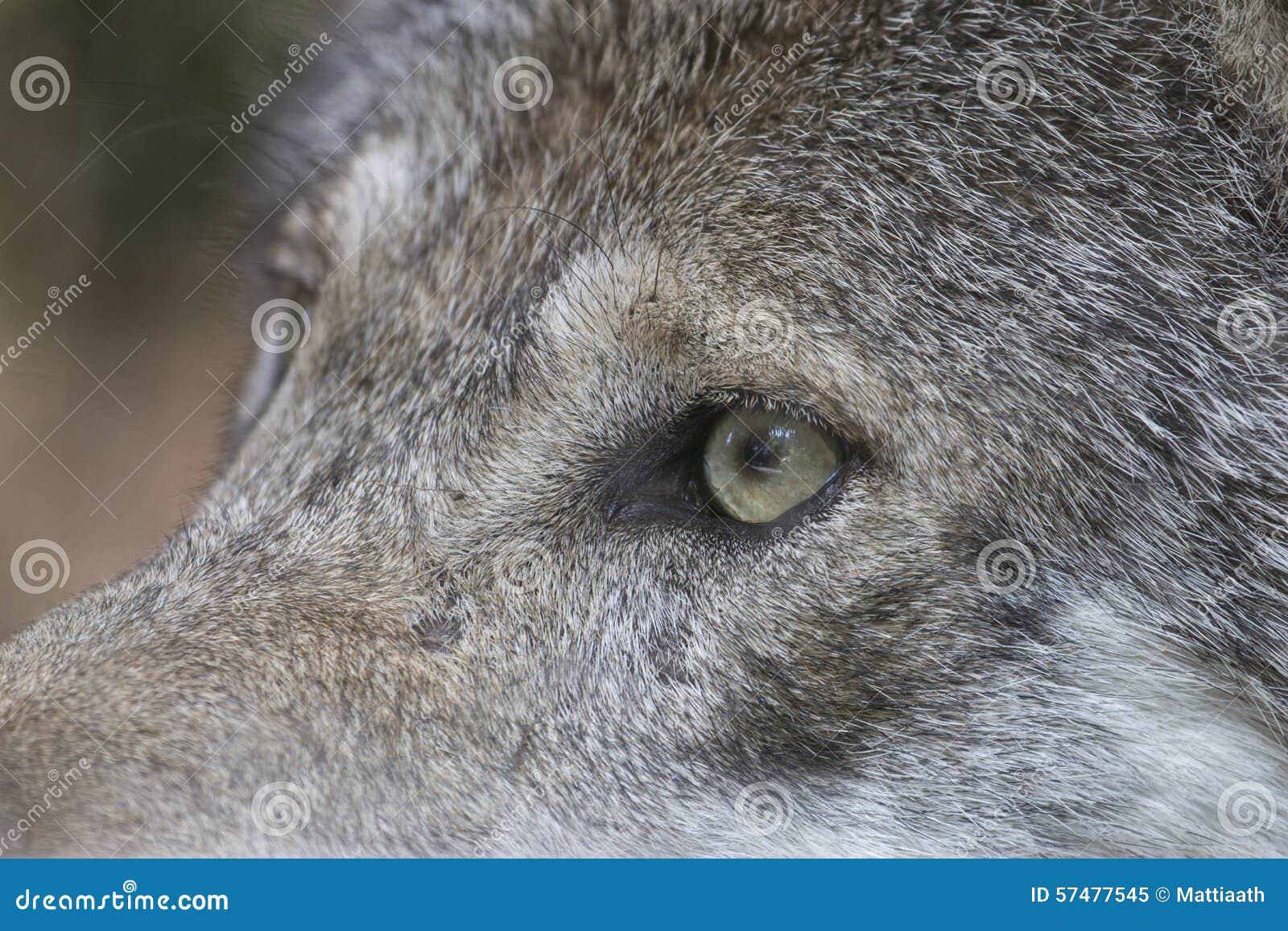 up het oog een grijze wolf stock afbeelding
