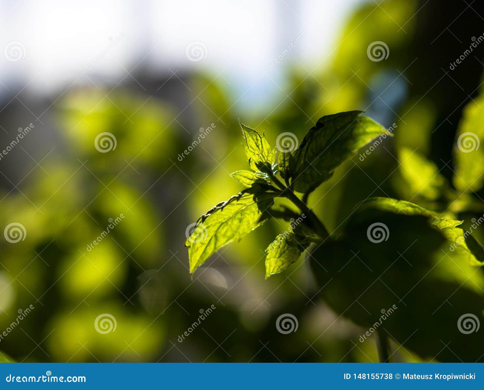 Close-up van het verse, groene pepermunt groeien binnen met uit nadrukachtergrond die wordt geschoten