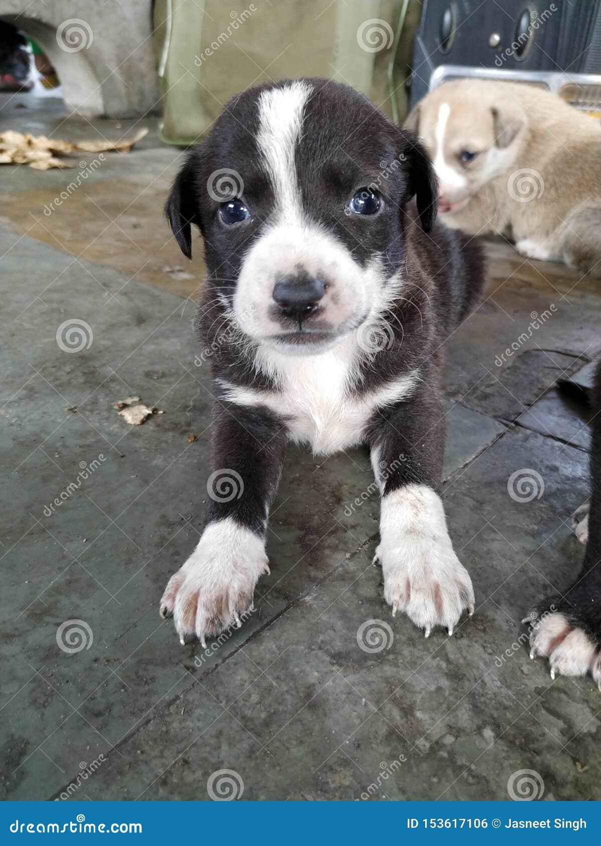 Close-up van Leuk zwart wit puppy met blauwe ogen