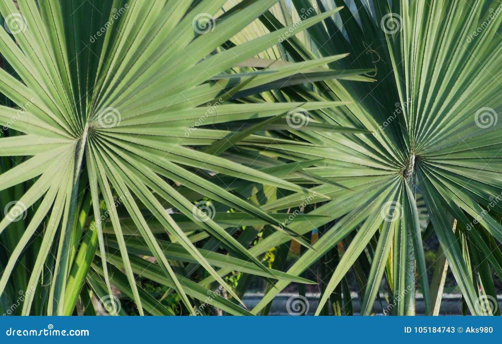 Close-up van paar van achtergrond van het de textuurpatroon van het palmettoblad de abstracte