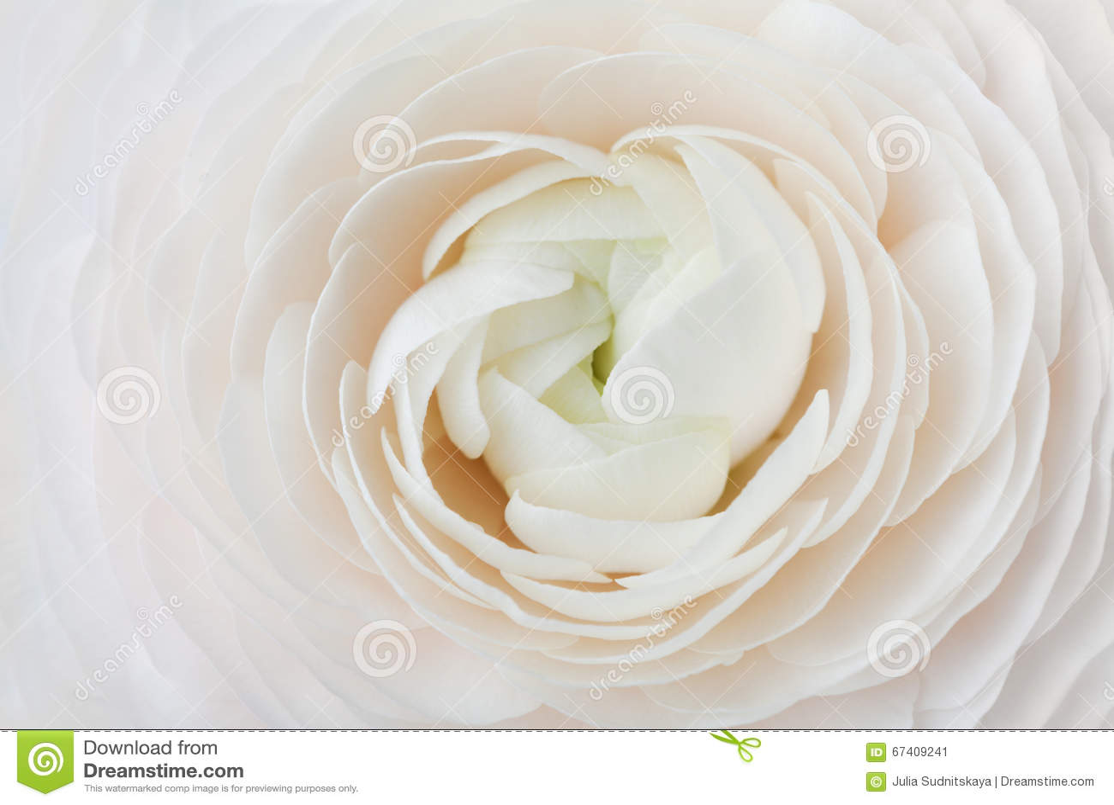 Close-up van perzikranunculus voor abstracte achtergrond, mooie de lentebloem, huwelijks bloemenpatroon, macro