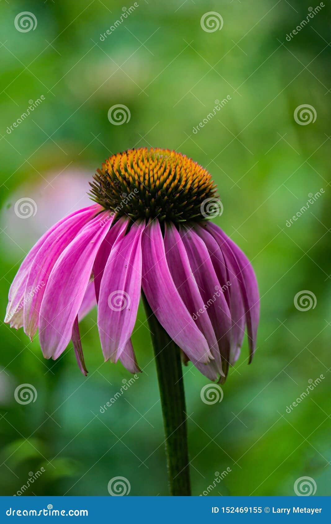 Close-up van purpurea van Coneflower Echinacea