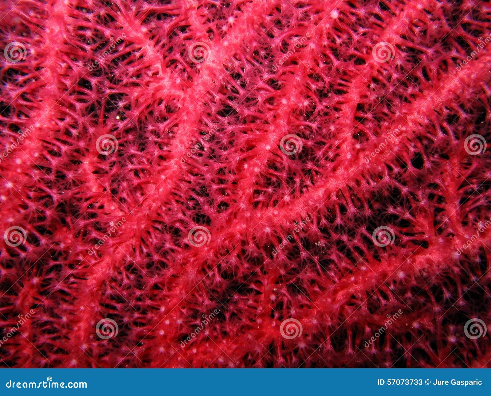 Close-up van rode gorgonian Paramuricea-clavata