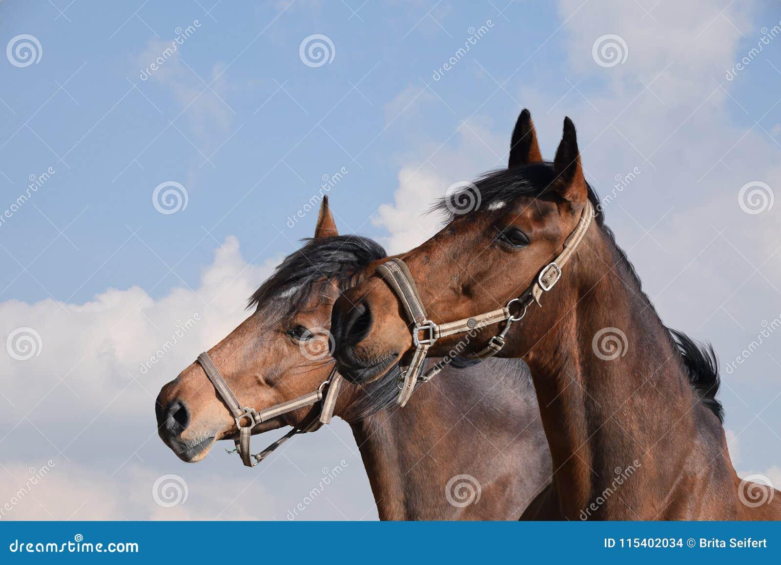 Close-up van twee volwassen bruine paarden stallions