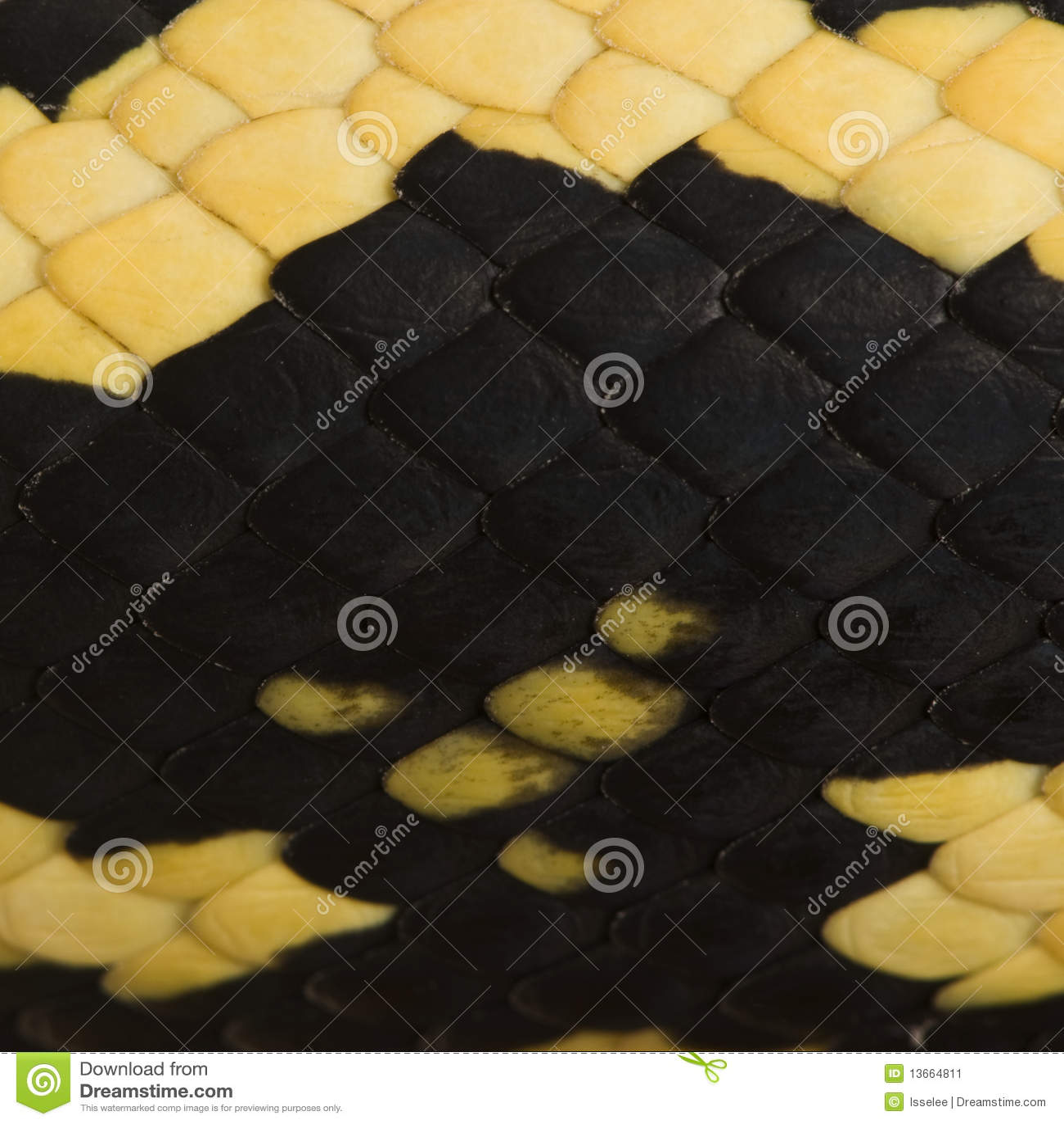 Close-up van van spilotavariegata van Morelia de slangschalen