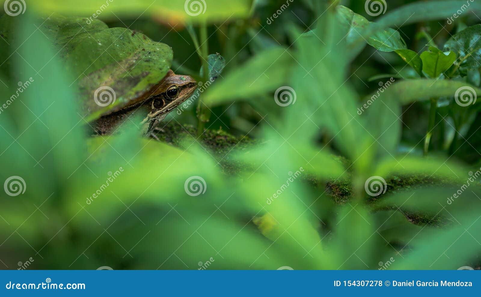 Close-up van volwassen kikkerrust op rand van vijver met groene plantaardige bladeren in Taiwan