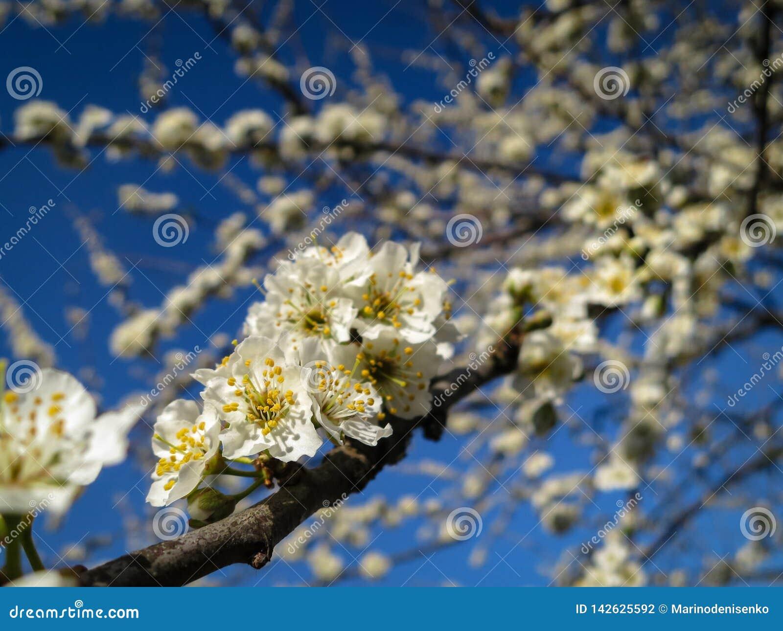 Close-up van witte de bloemenbloesem van de kersenpruim in de lente Heel wat wit bloeit in zonnige de lentedag met blauwe hemel