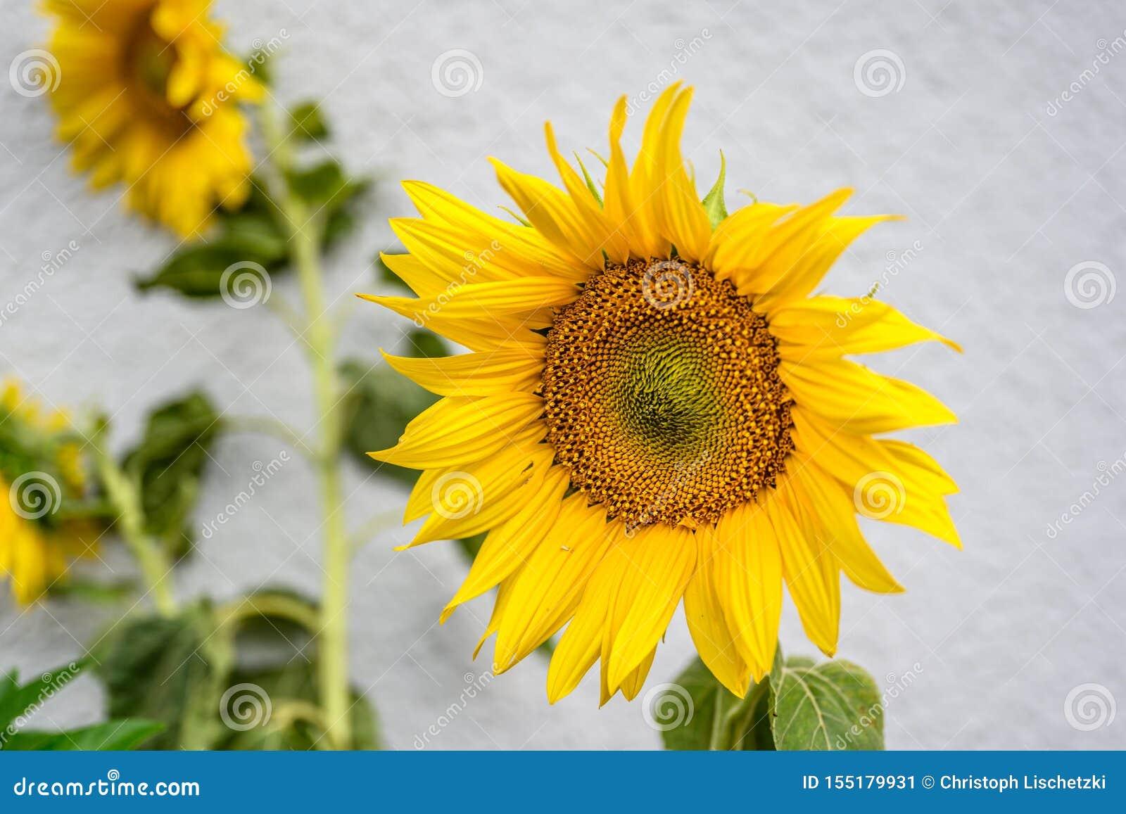 Close-up van zonnebloem natuurlijke achtergrond Het bloeien De zonnebloemen symboliseren bewondering, loyaliteit en levensduur