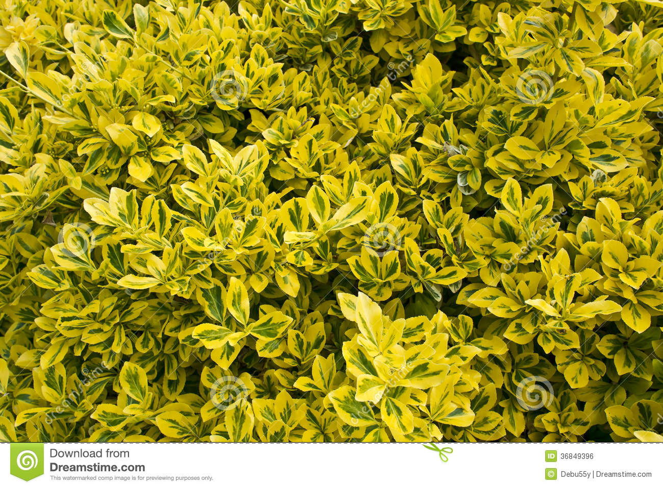 Green Accent Wall Close Up Of A Variegated Box Hedge Shrub Royalty Free