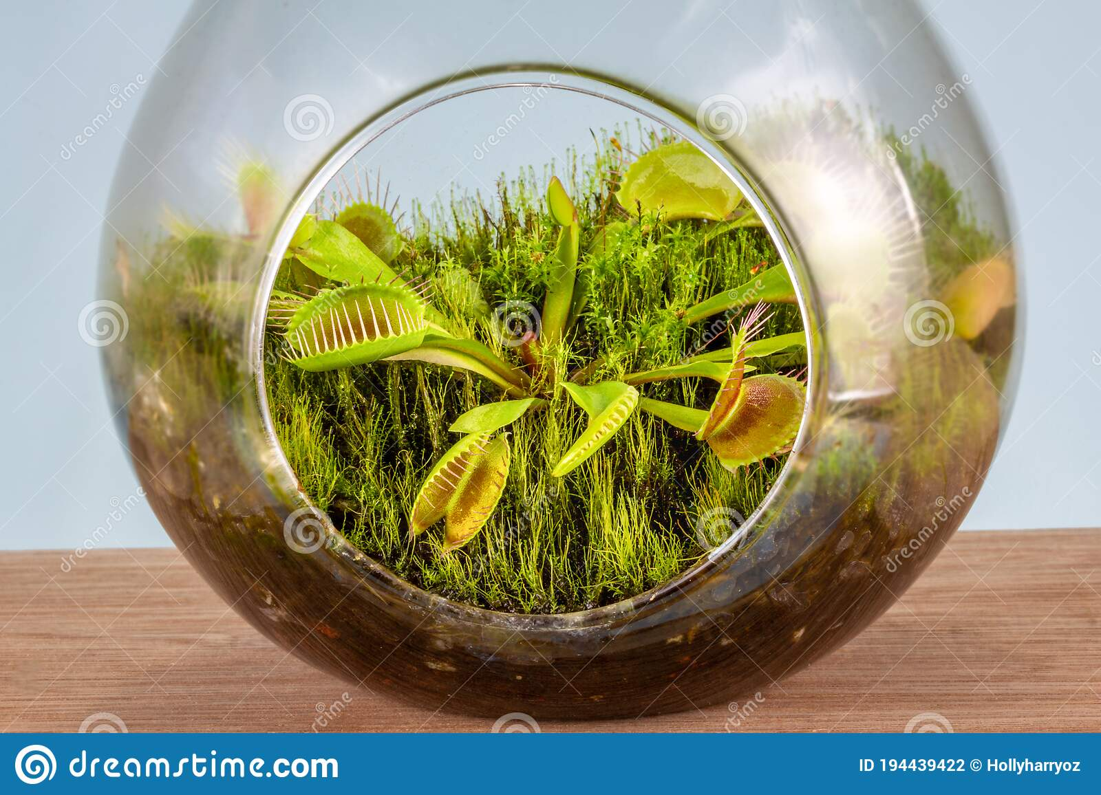 Close Up Of Venus Flytrap Dionaea Muscipula Growing In Glass Terrarium Stock Photo Image Of Carnivorous Flytrap 194439422