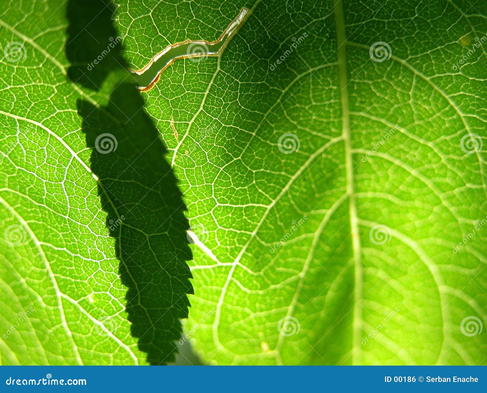 Close up verde 1 da folha