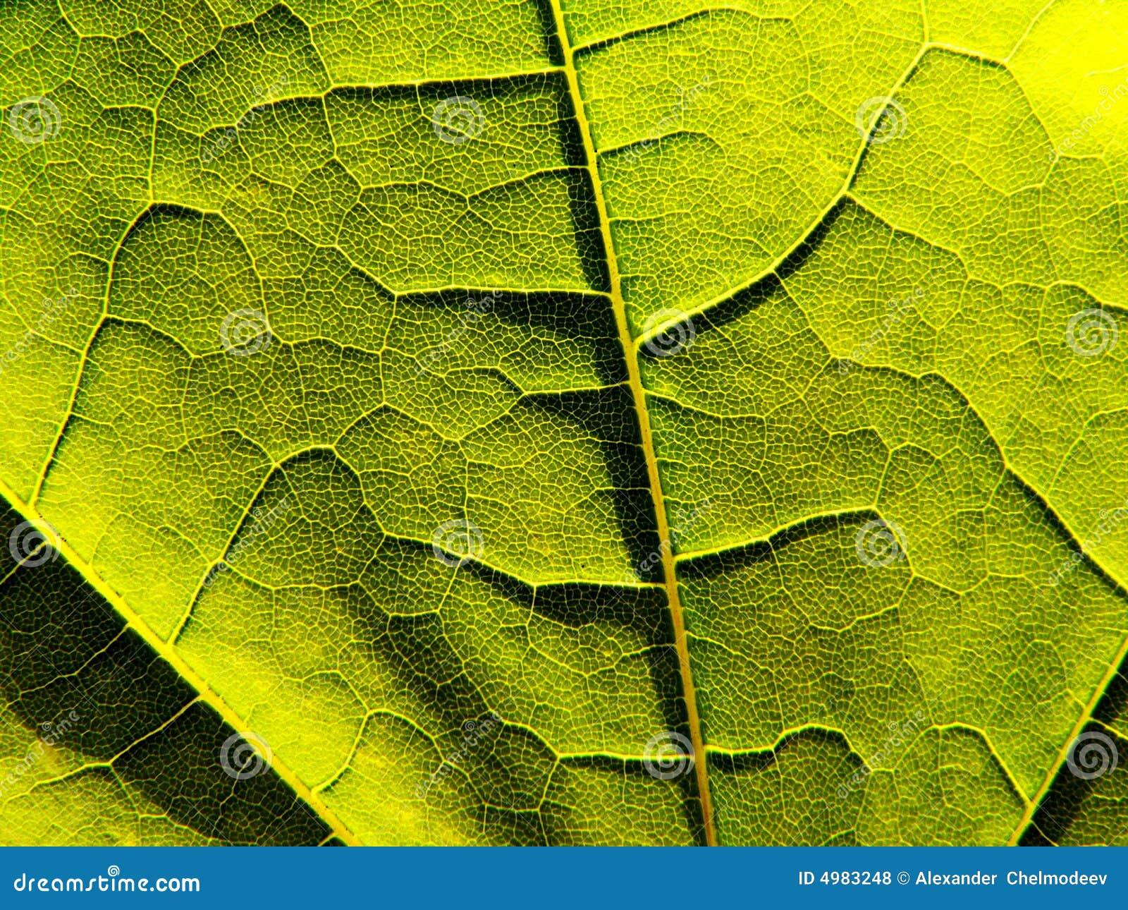 Close-up verde da folha