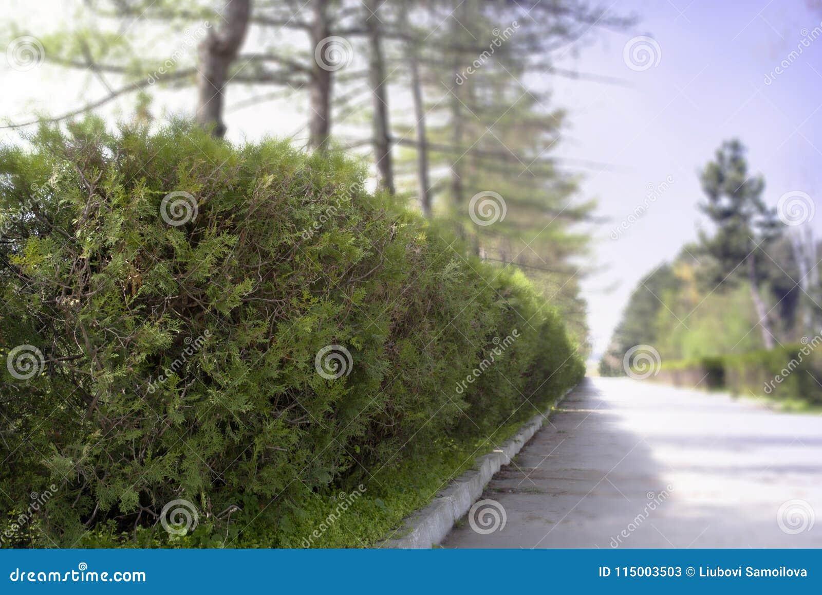 Close-up verde do arbusto no fundo do parque O rood verde do ANG do parque