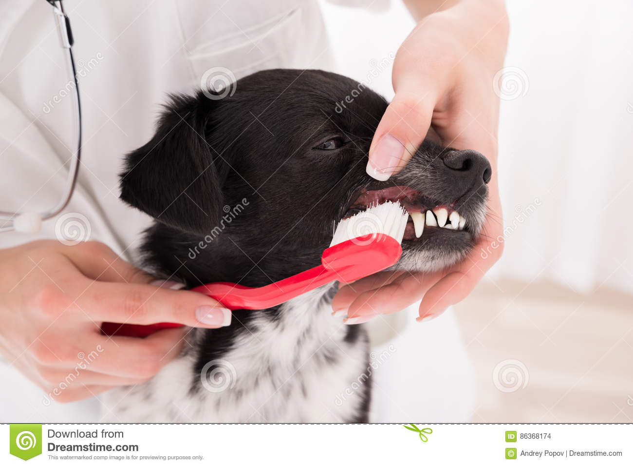 Vet Cleaning Dog`s Teeth With Toothbrush