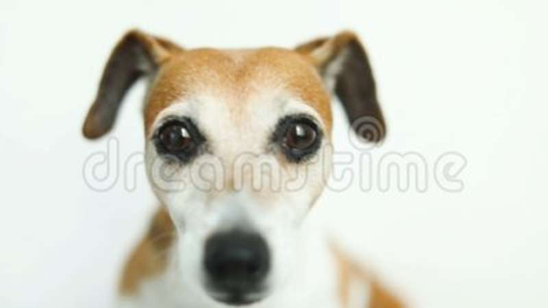 amazing Small Cute Smart Part - 13: Close Up Video Portrait Of Small Cute Dog Jack Russell Terrier. Smart  Beautiful Eyes. Video Footage Stock Footage - Video of happy, lovepuppy:  120480164