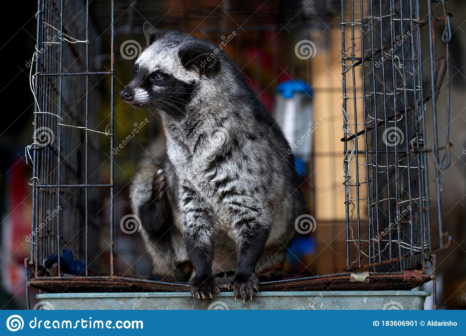 Close Up Of Vietnamese Captive Civet Cat Sitting In A Cage ...