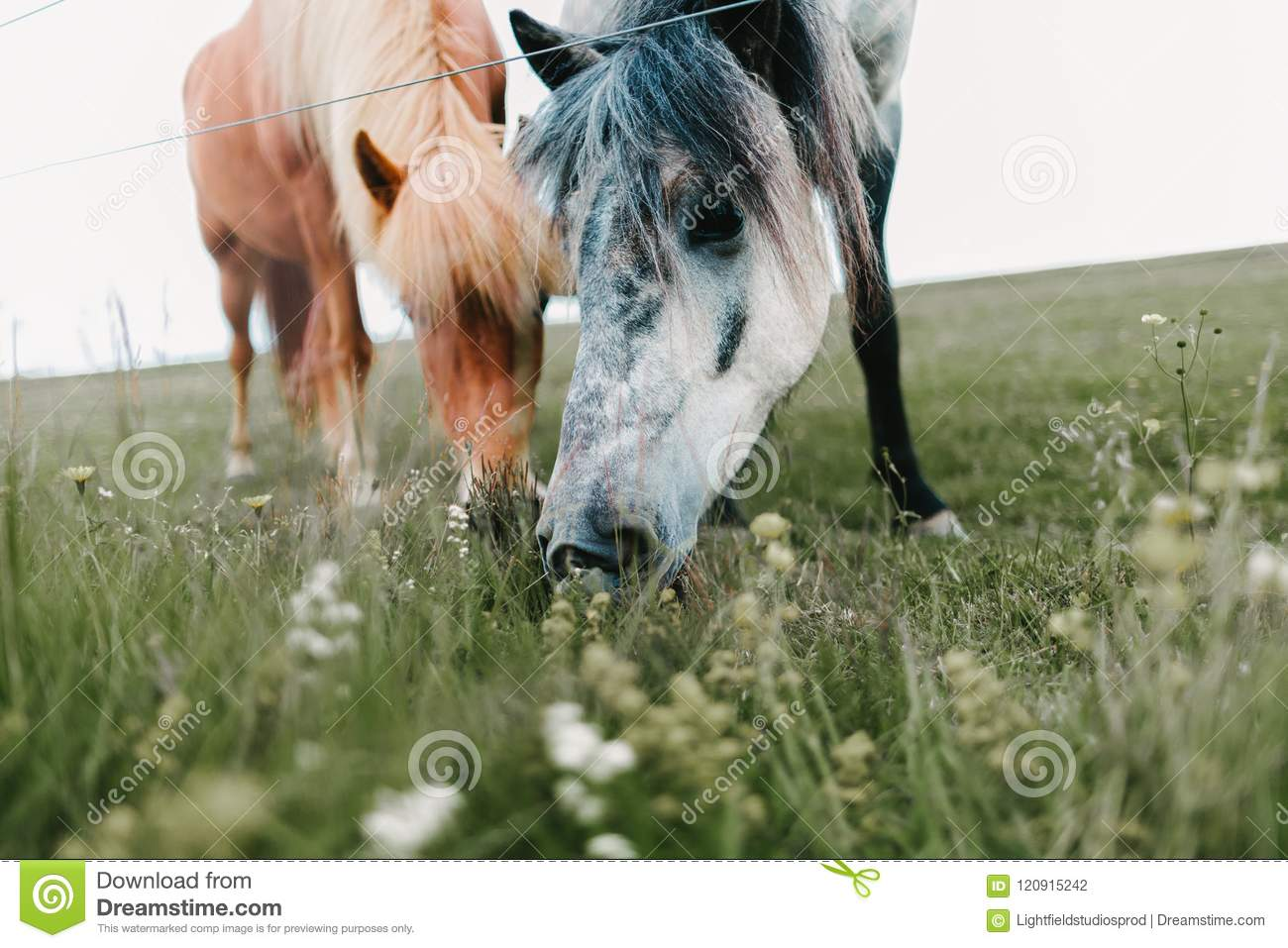 close-up view of beautiful icelandic horses grazing
