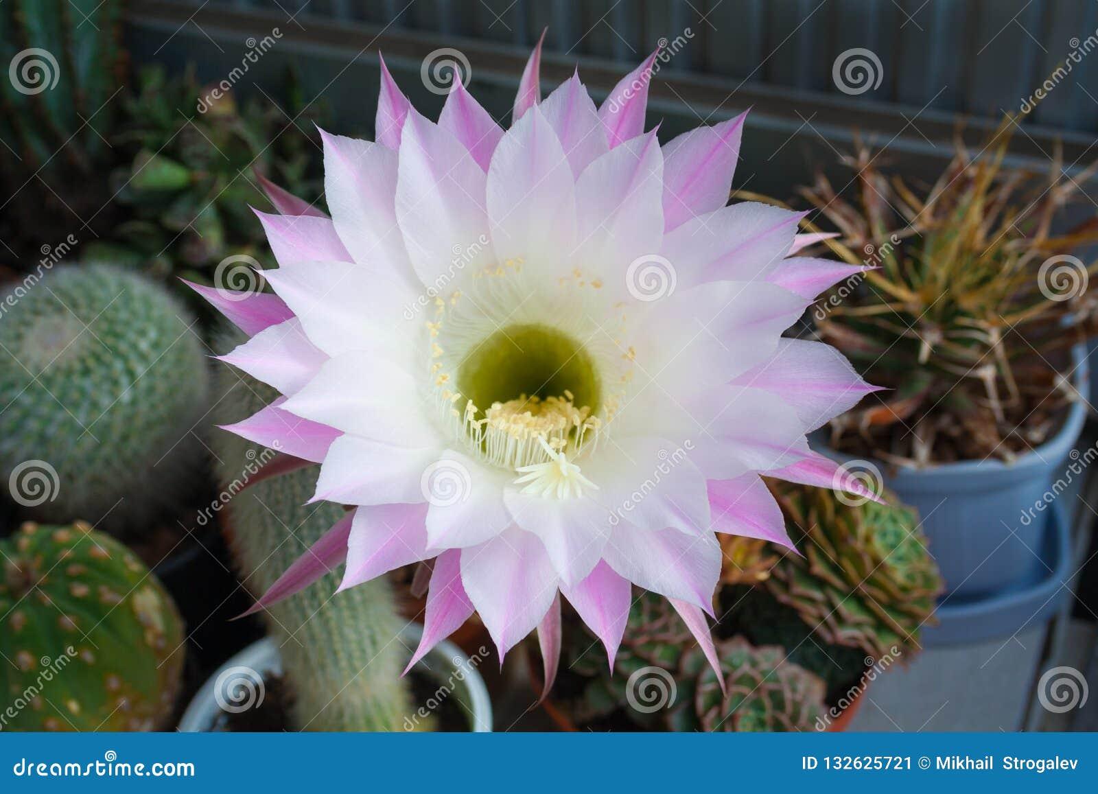 Big white-pink flower of cactus echinopsis