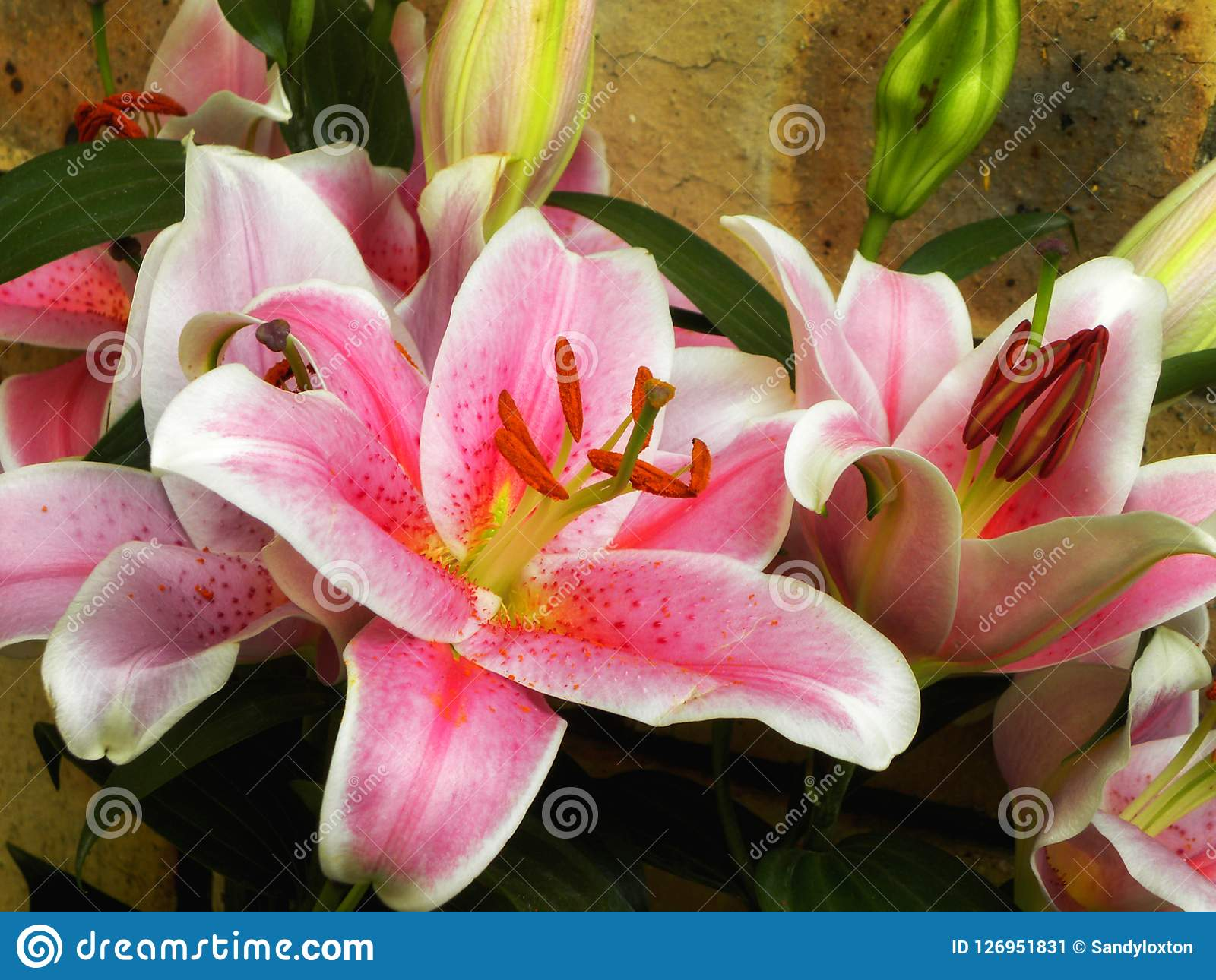 Pink Tiger Lily Flower Bunch Stock Image Image Of South Pink