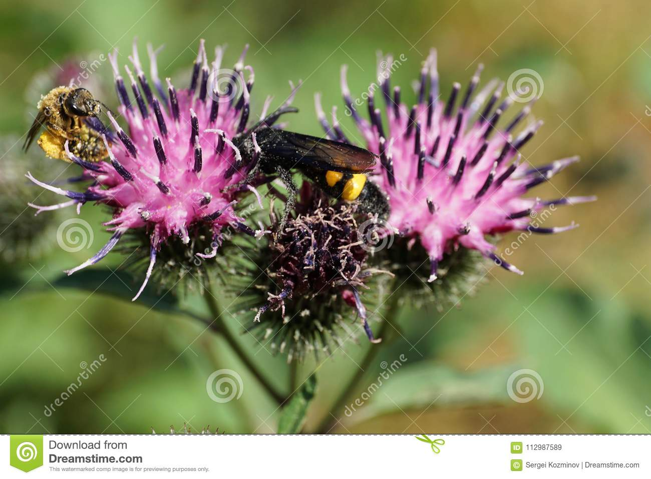 Close-up view of Caucasian black and yellow wasp Scolia hirta an