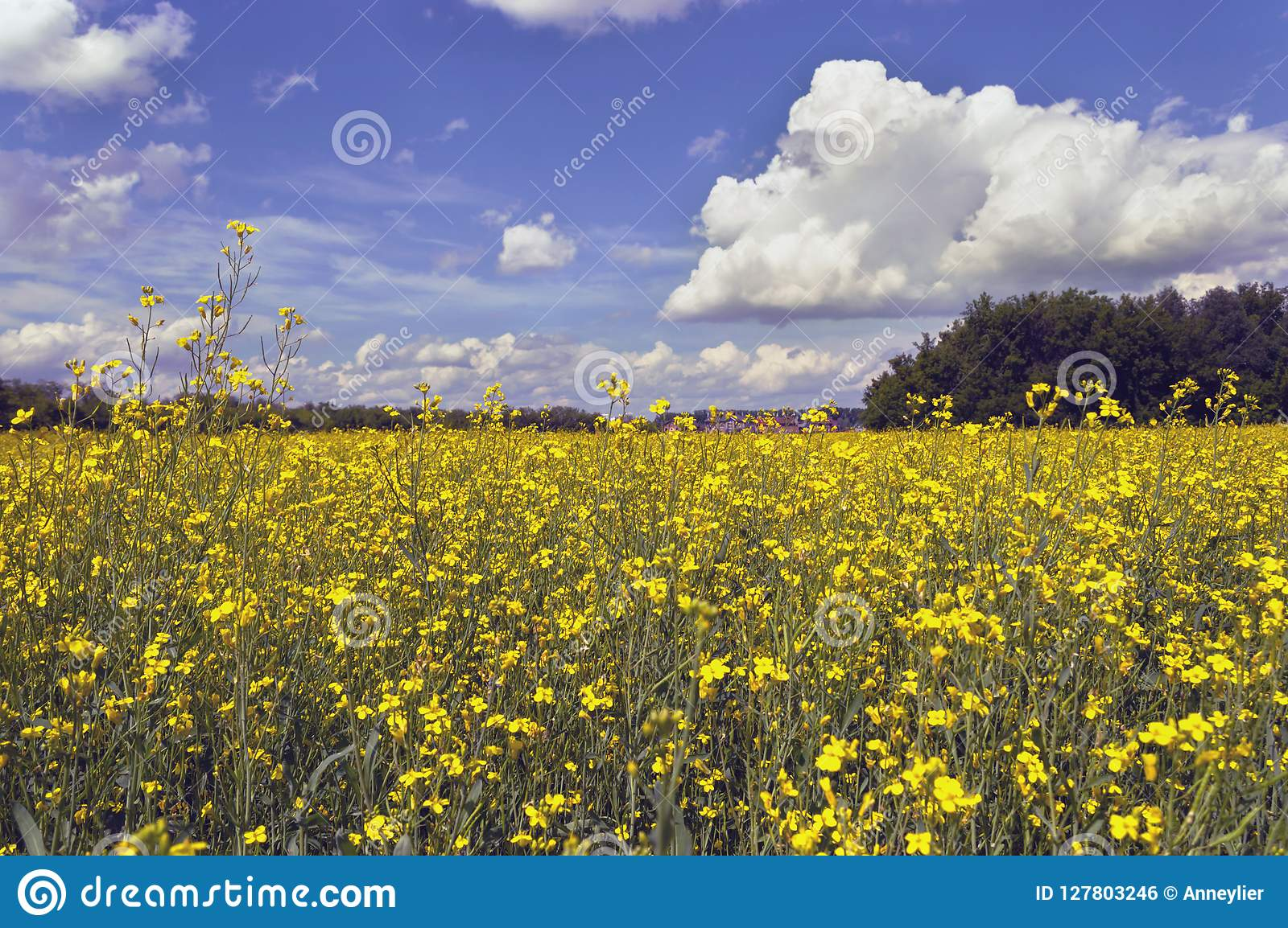 Coleseed field in bloom with clouds