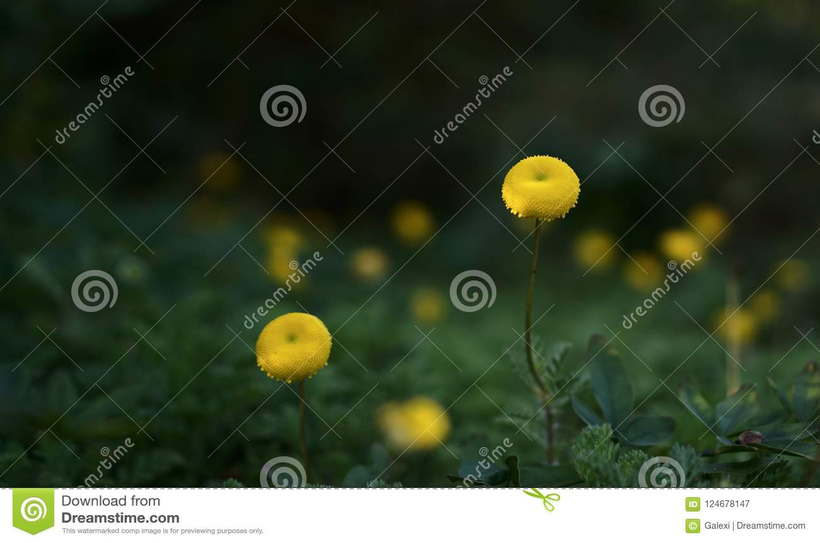 Craspedia Ball Shaped Yellow Flowers Stock Image Image Of Natural