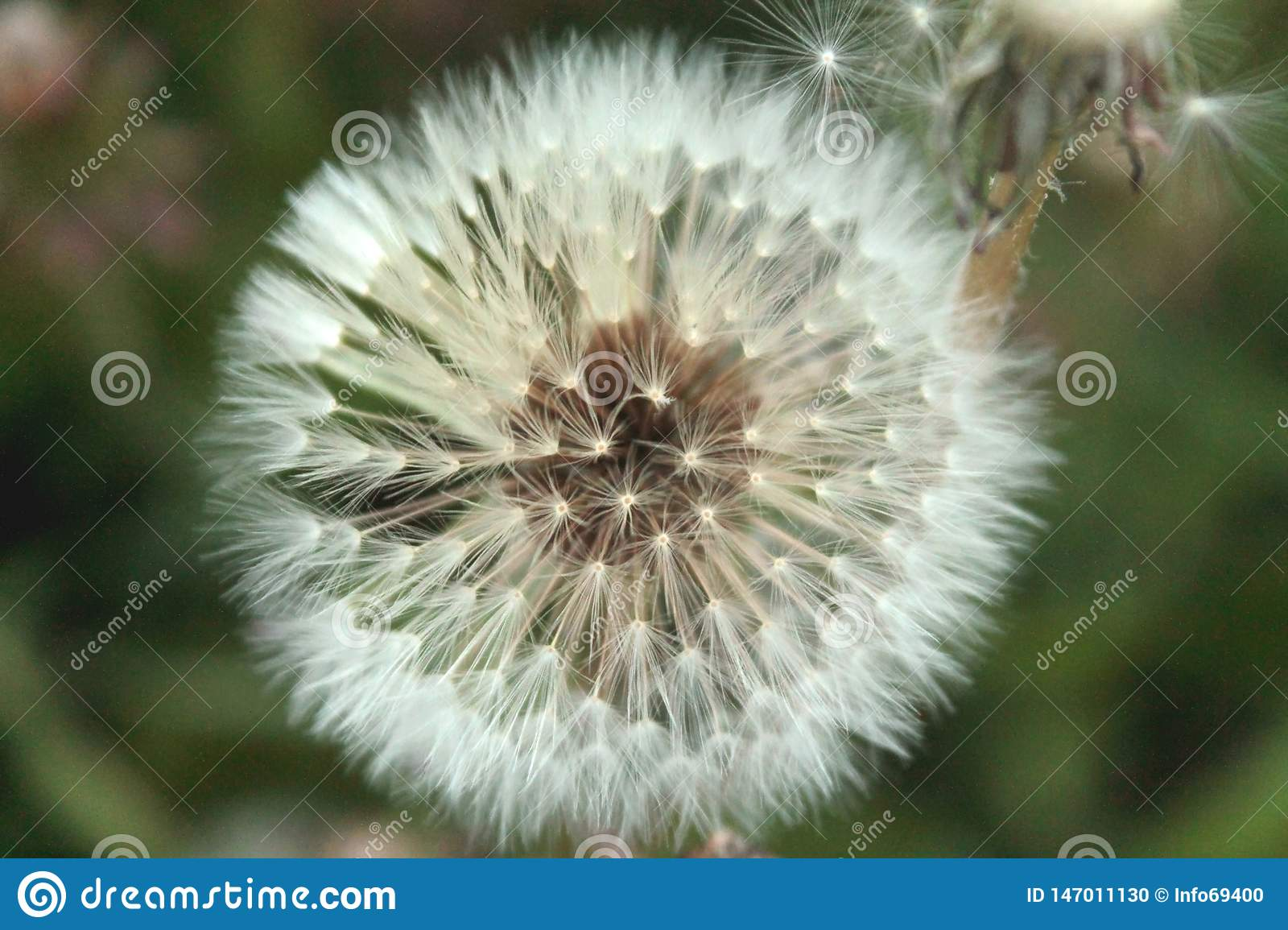 Close up view of Dandelion white flower