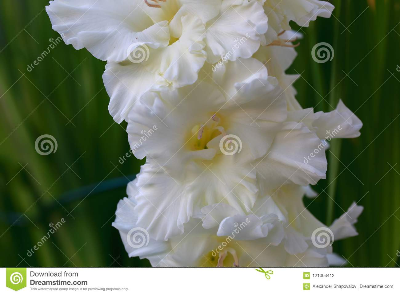 Close up view of gorgeous white gladiolus flower isolated on green download close up view of gorgeous white gladiolus flower isolated on green leaves background stock mightylinksfo
